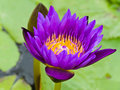 Purple water lilly flower blooming