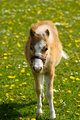 Foal on flower meadow