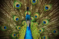 Peacock 2