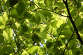 Dense green foliage of beech trees