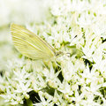 Small white on Sedum flowers 