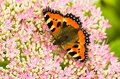 Small tortoiseshell butterfly on Sedum flowers