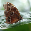 Northern Pearl Eye butterfly 