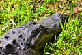 American Alligator