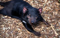 Tasmanian Devil