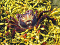 Red Rock Crab, Plagusia chabrus
