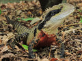 Australian Water Dragon Physignathus lesueurii