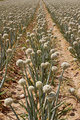 onion field