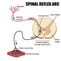 Spinal Reflex Arc