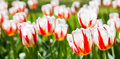 Happu Generation tulip