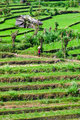 reen rice field terrace