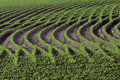 Patterns in rows of soybeans