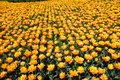 Rug of tulips
