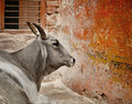 Cow in a indian city