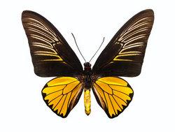 Альбом пользователя ЕкатеринаКостинская: Троидес Магеллана. Коллекция 63 бабочки мира