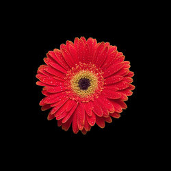 ... -100028164-Bright-Red-Orange-Gerbera-Daisy-on-Black-Background.jpg