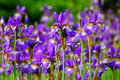Garden of Irises