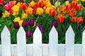 Tulips white fence