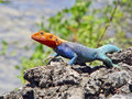 Red-headed agama on the rocks