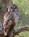 Barred Owl perched on limb