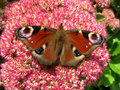 Colorful European peacock butterfly (Inachis io) on a sedum flower.