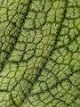 Hairy leaf