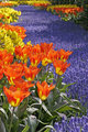 Tulipa 'World Legend' Darwin-Hybrid-Tulip