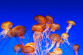 School of sea nettle jellyfish - Chrysaora fuscescens