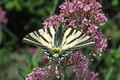 Scarce Swallowtail (Iphiclides podalirius), Segelfalter  Iphiclides podalirius, Segelfalter