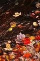 Autumn leaves in creek