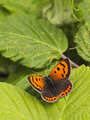 Small copper on leaf