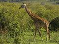 A masai giraffe in kenya