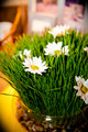 Wheatgrass with white daisy