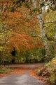 Beech Tree and Lane in Autumn Fall