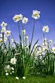 Bush of Narcissus