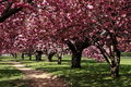 A row of cherry blossom trees