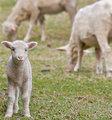 Cute lamb on farm