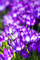 Purple spring crocus - vertical