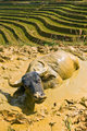 Steer on the mud.