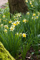 Small daffodils in spring