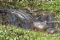 Florida Alligator in the Wild (6)