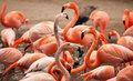 Flock of Beautiful Flamingos