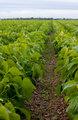 Green field of leafy greens