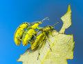 Three weevil