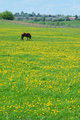 The horse on flowering spring pasture
