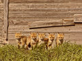 Five fox kits by old Saskatchewan granary