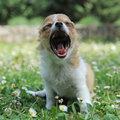 Yawning puppy chihuahua