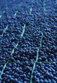 Miles of Blueberries