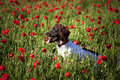 Dog and poppy field