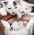Hands holding two cute kittens